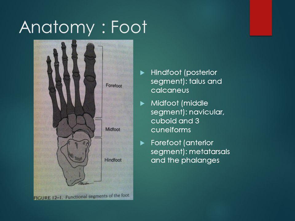 Anatomy : Foot Hindfoot (posterior segment): talus and calcaneus