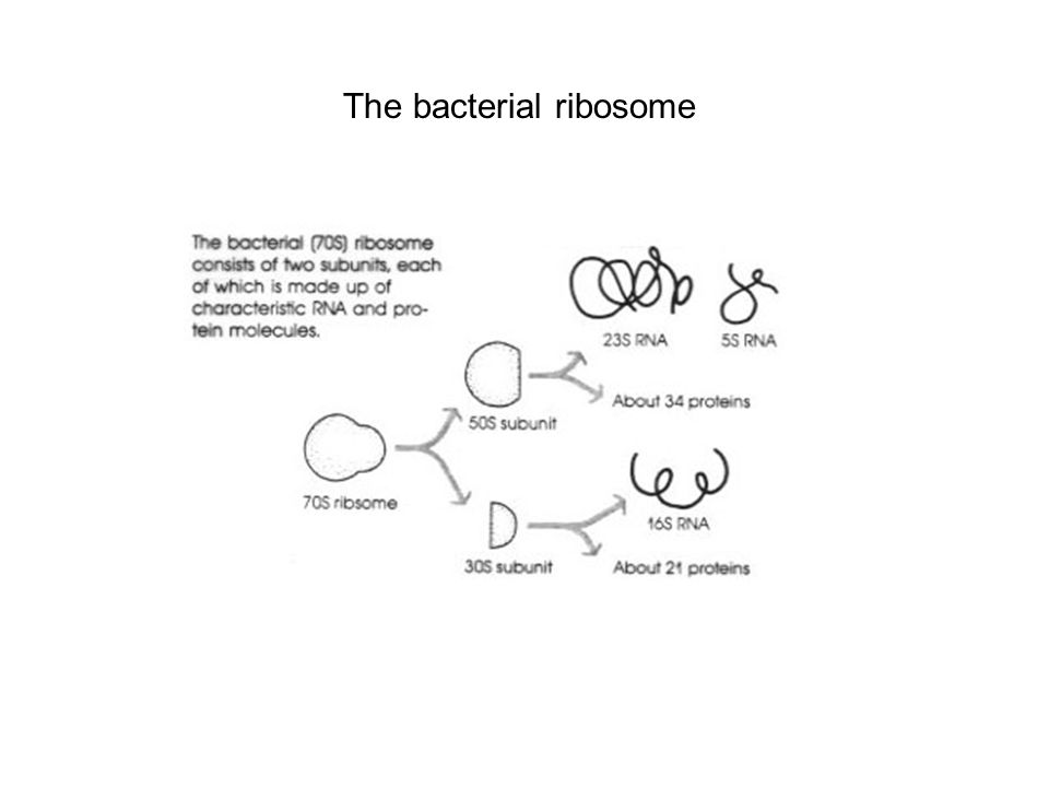 The bacterial ribosome