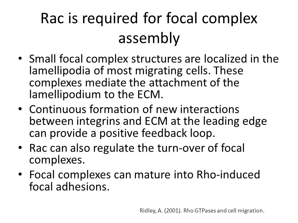 Rac is required for focal complex assembly