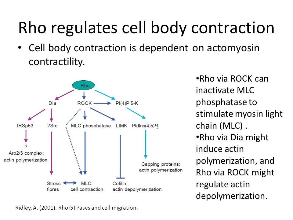Rho regulates cell body contraction