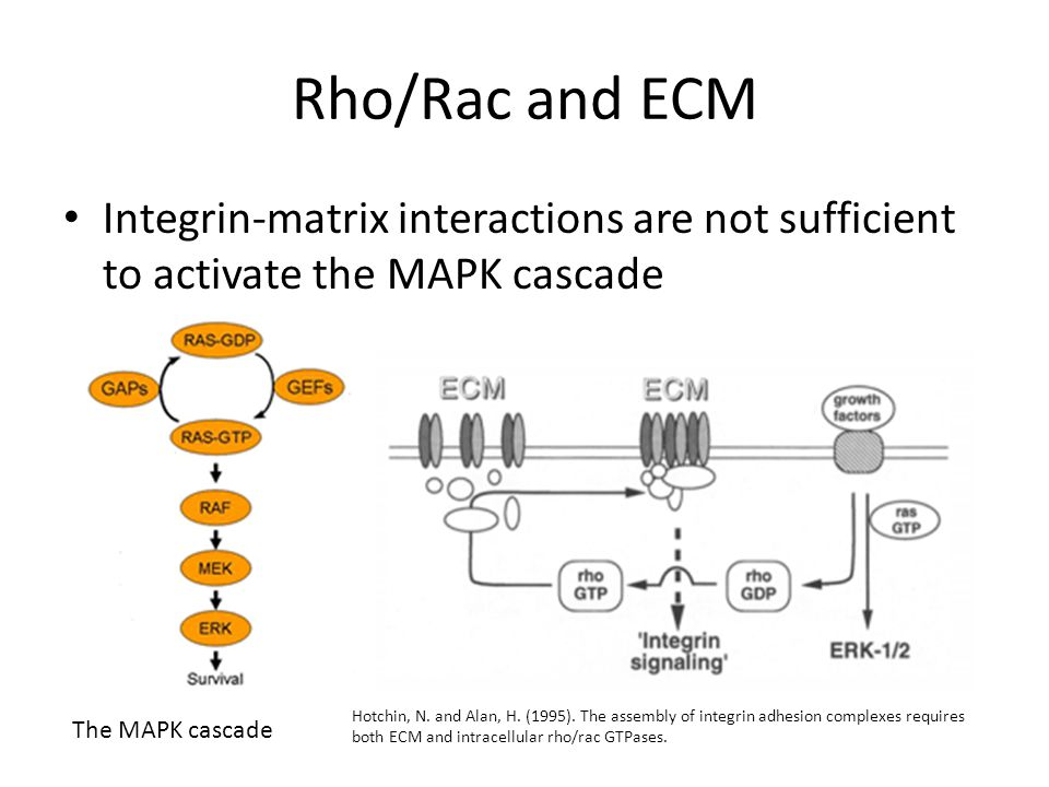Rho/Rac and ECM Integrin-matrix interactions are not sufficient to activate the MAPK cascade.