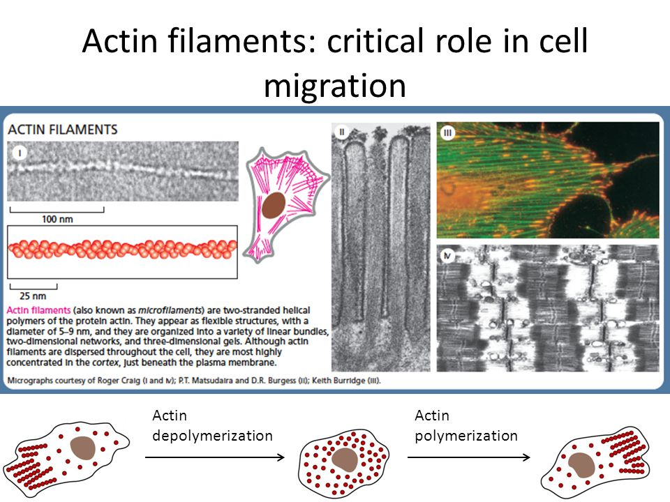 Actin filaments: critical role in cell migration