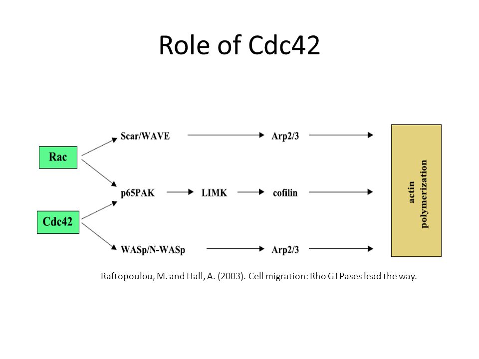 Role of Cdc42 Raftopoulou, M. and Hall, A. (2003). Cell migration: Rho GTPases lead the way.