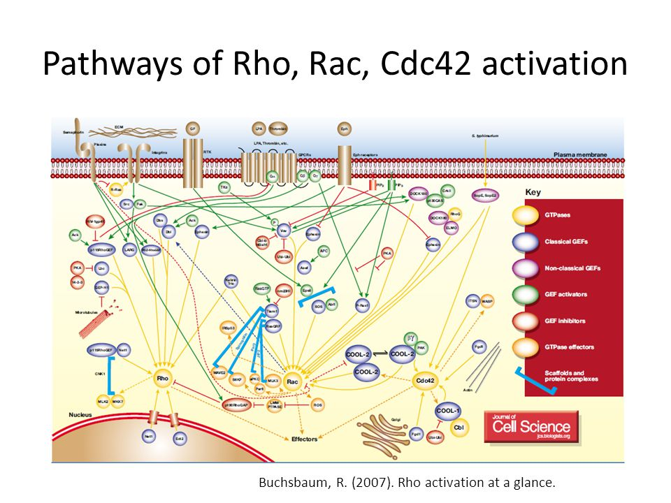 Pathways of Rho, Rac, Cdc42 activation