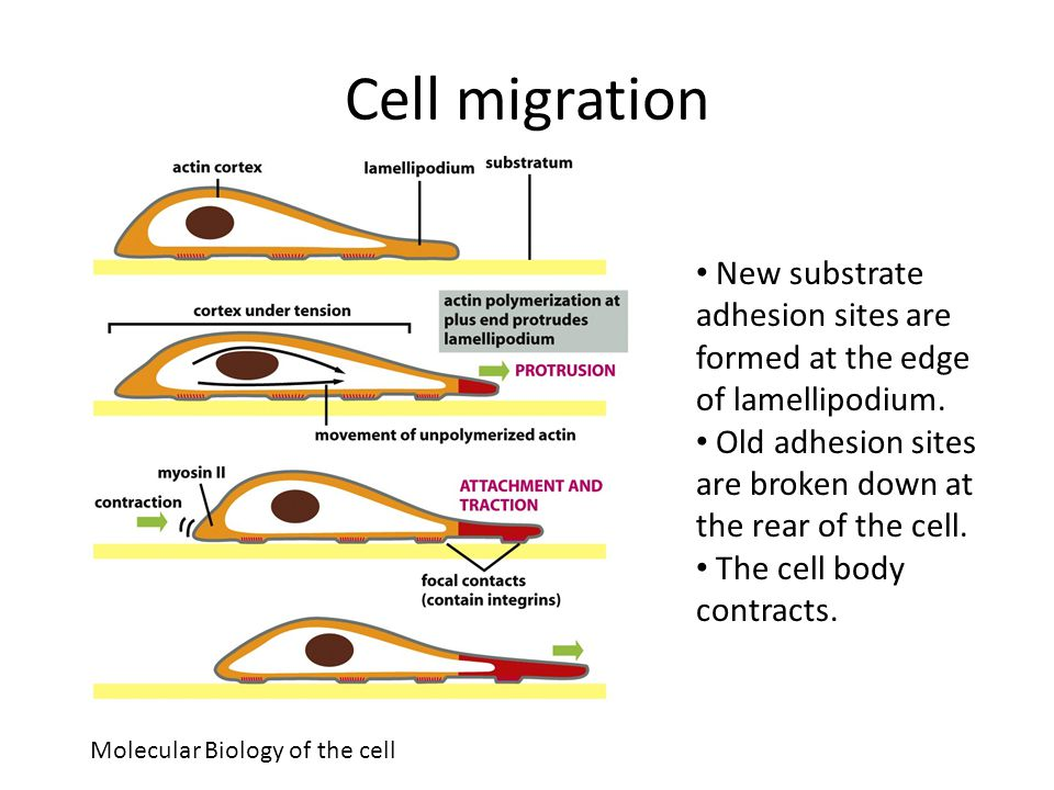 Cell migration New substrate adhesion sites are formed at the edge of lamellipodium. Old adhesion sites are broken down at the rear of the cell.