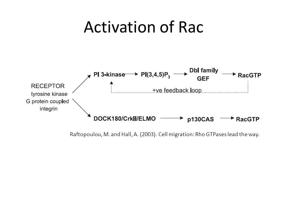 Activation of Rac Raftopoulou, M. and Hall, A. (2003). Cell migration: Rho GTPases lead the way.