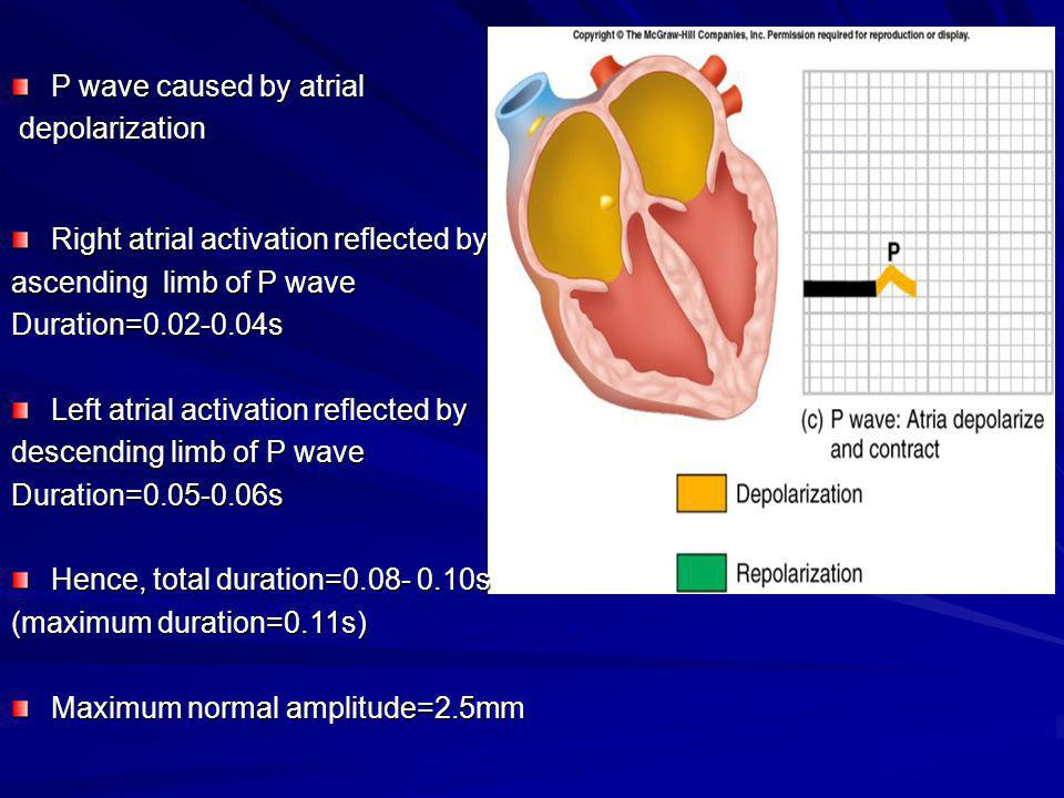 P wave caused by atrial depolarization. Right atrial activation reflected by. ascending limb of P wave.