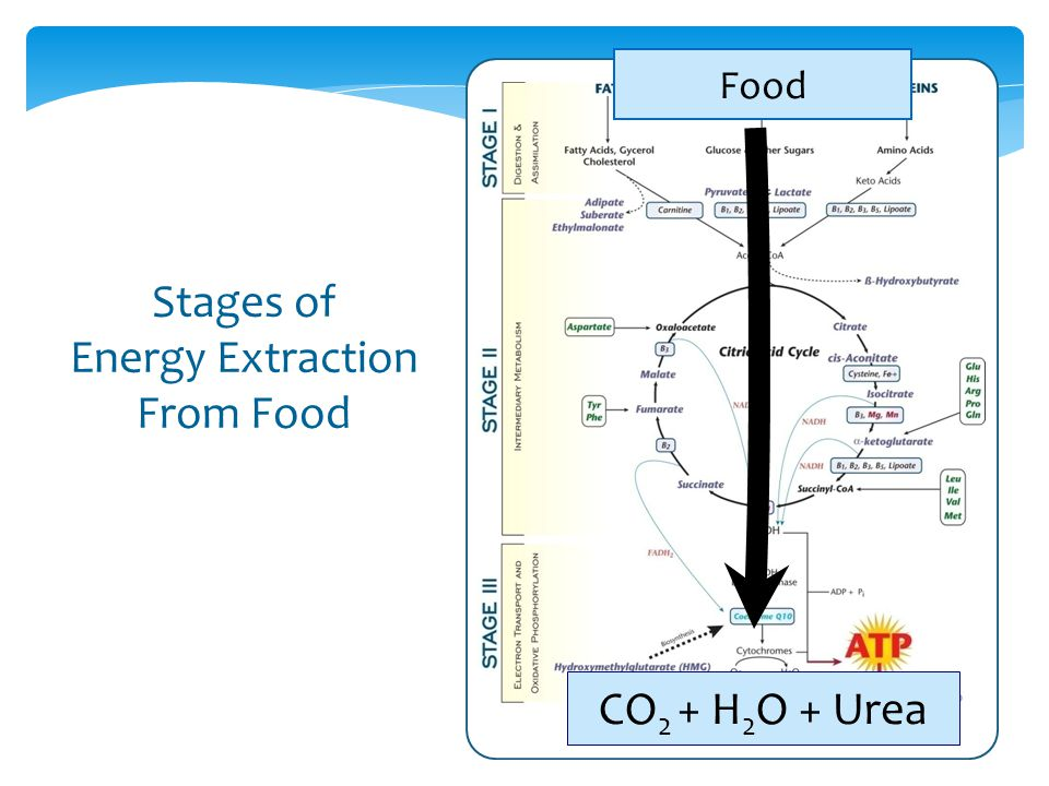 Stages of Energy Extraction From Food