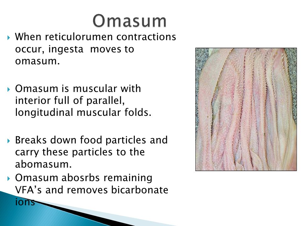 Omasum When reticulorumen contractions occur, ingesta moves to omasum.