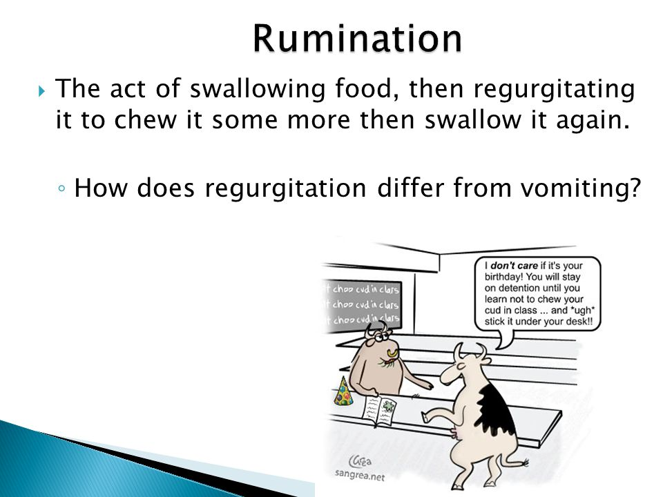 Rumination The act of swallowing food, then regurgitating it to chew it some more then swallow it again.