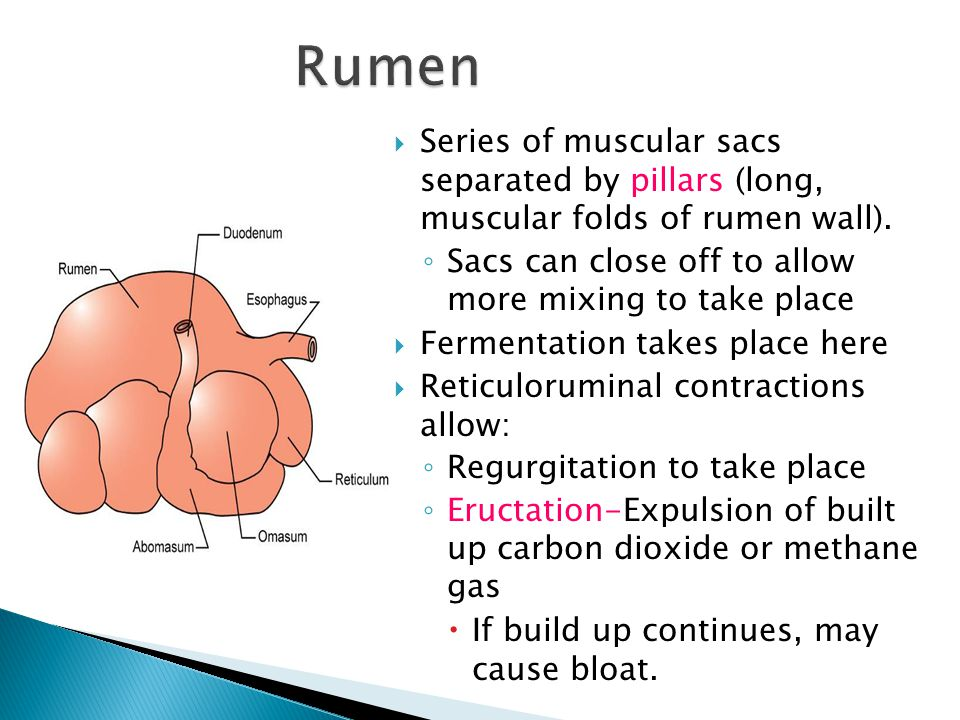 Rumen Series of muscular sacs separated by pillars (long, muscular folds of rumen wall). Sacs can close off to allow more mixing to take place.