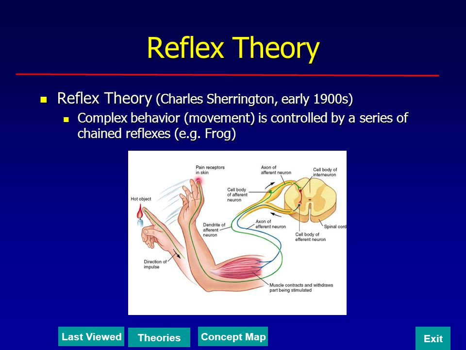 Reflex Theory Reflex Theory (Charles Sherrington, early 1900s)