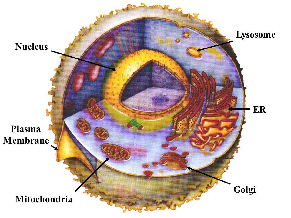 Lysosome Nucleus ER Plasma Membrane Mitochondria Golgi