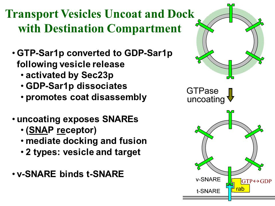Transport Vesicles Uncoat and Dock with Destination Compartment