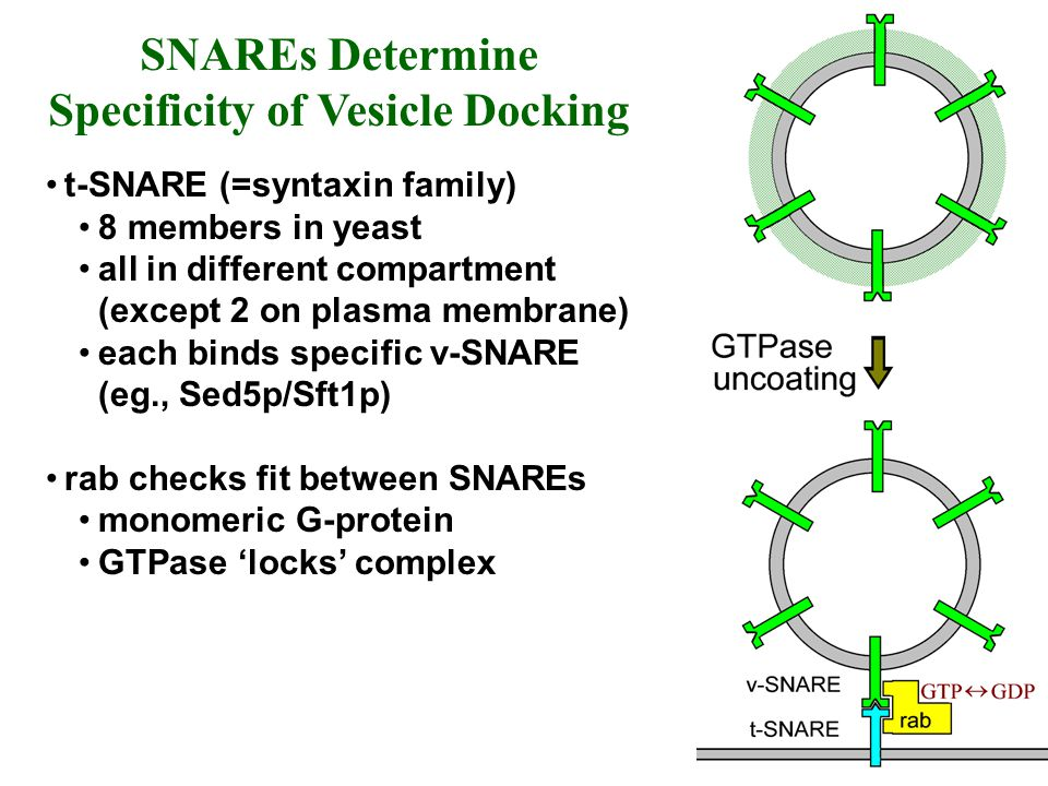 SNAREs Determine Specificity of Vesicle Docking