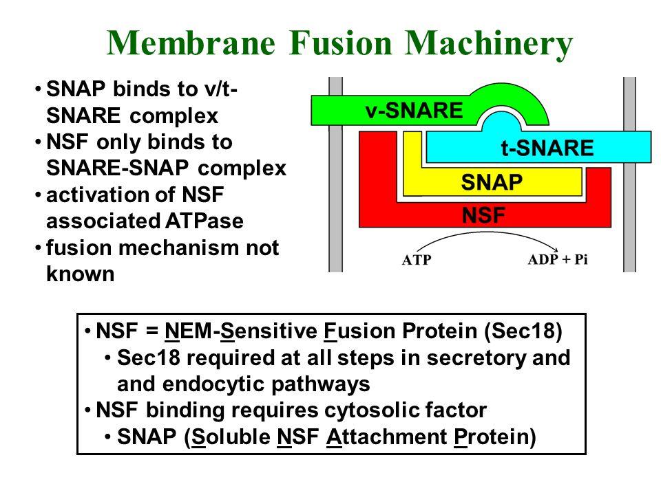 Membrane Fusion Machinery