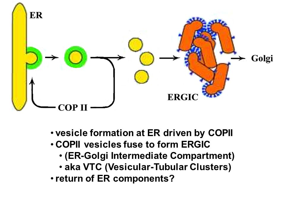 vesicle formation at ER driven by COPII