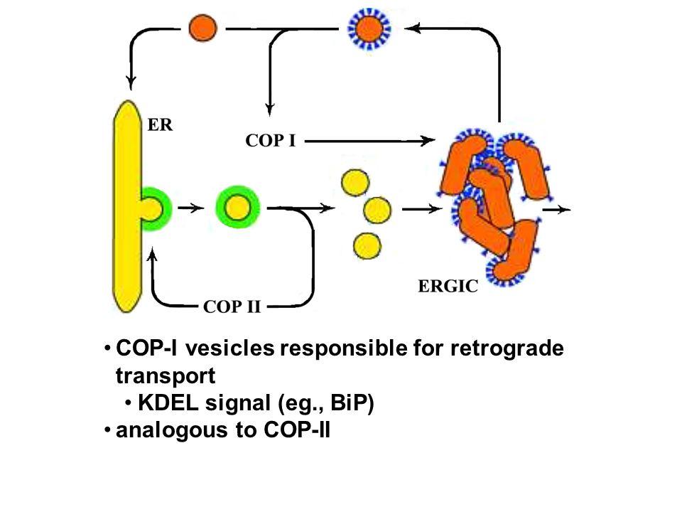 COP-I vesicles responsible for retrograde transport