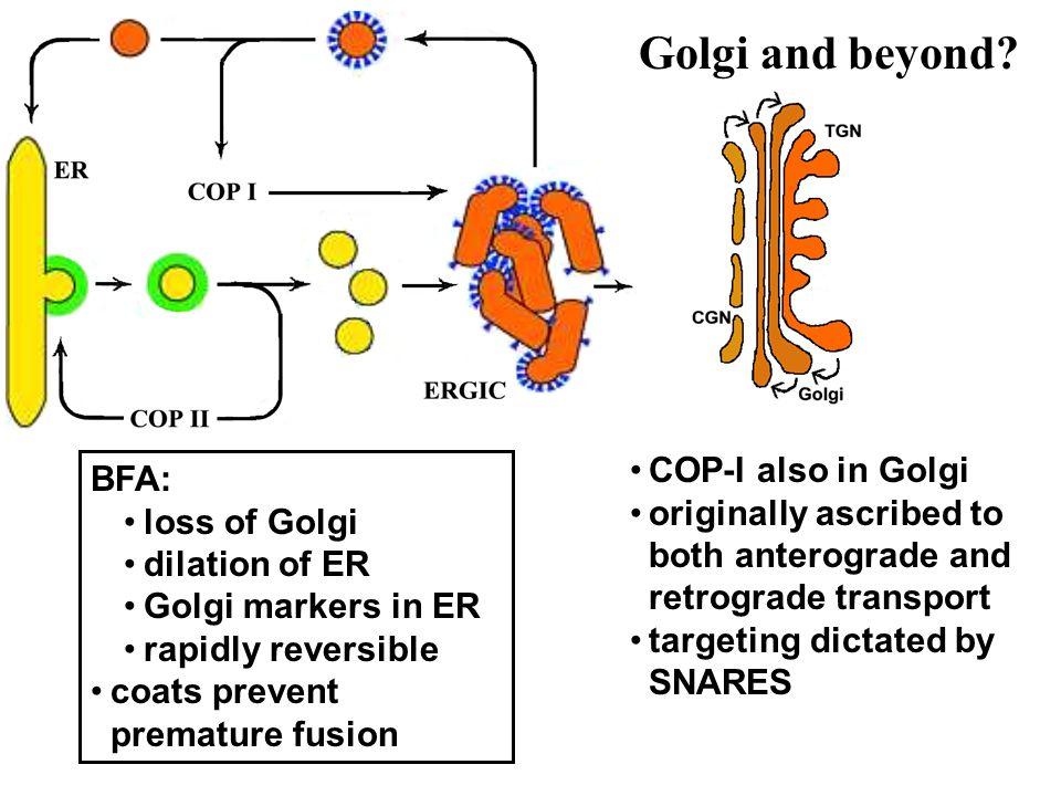 Golgi and beyond COP-I also in Golgi BFA: