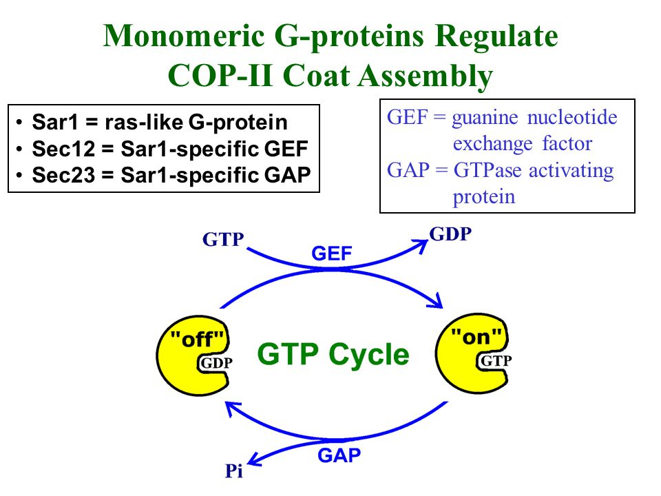 Monomeric G-proteins Regulate COP-II Coat Assembly