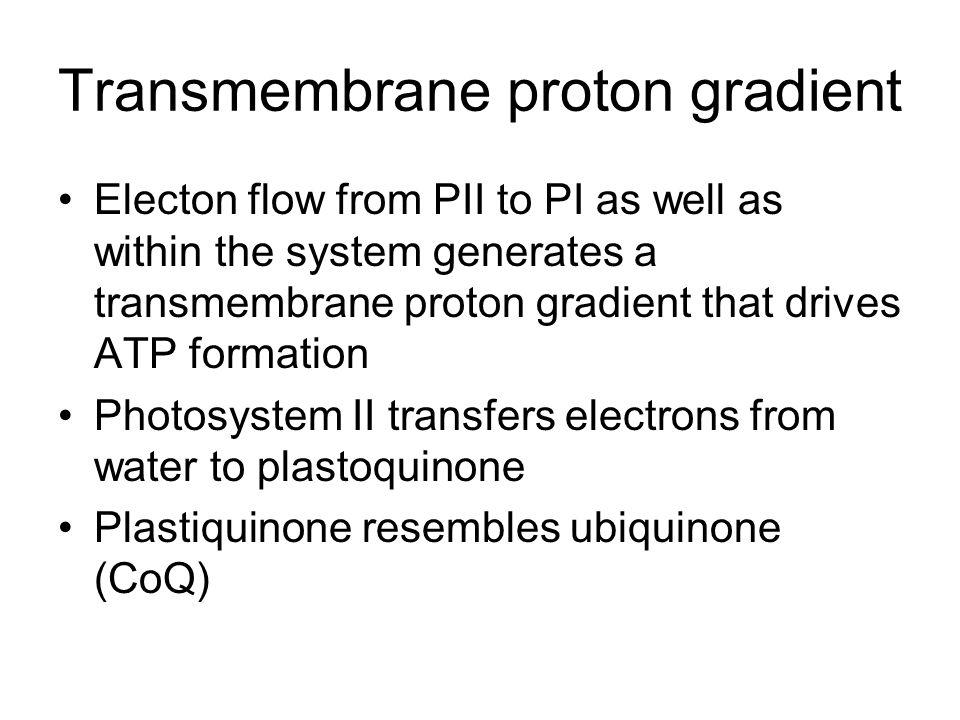 Transmembrane proton gradient