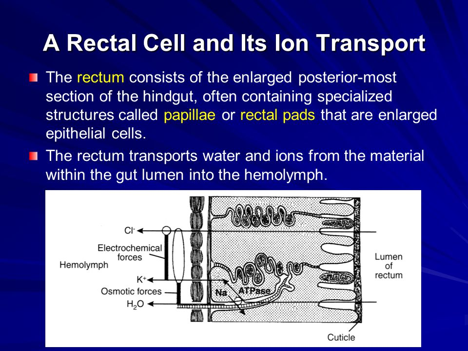 A Rectal Cell and Its Ion Transport