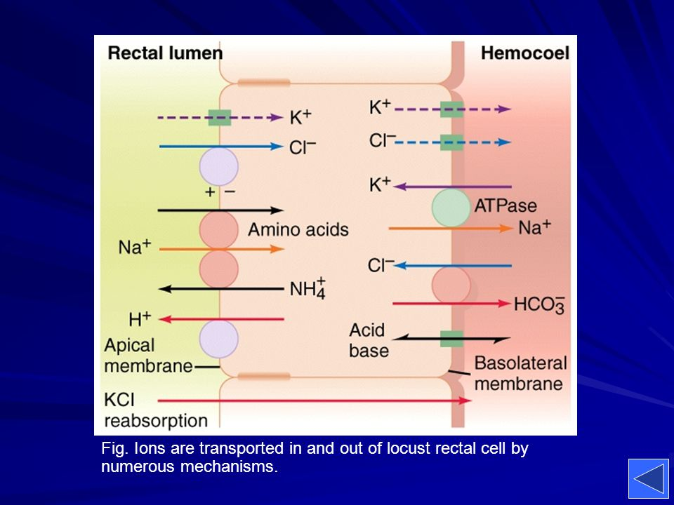 Fig. Ions are transported in and out of locust rectal cell by numerous mechanisms.