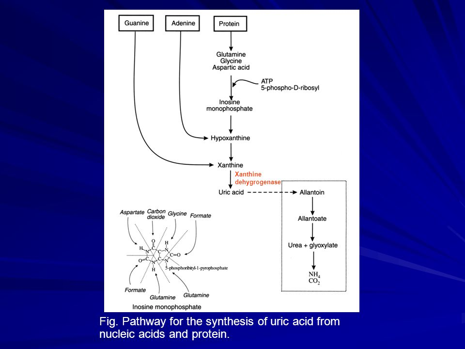 Xanthine dehygrogenase Fig. Pathway for the synthesis of uric acid from nucleic acids and protein.