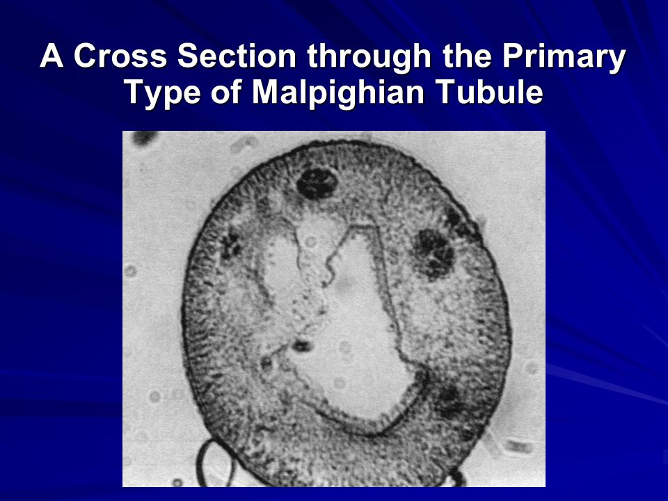 A Cross Section through the Primary Type of Malpighian Tubule