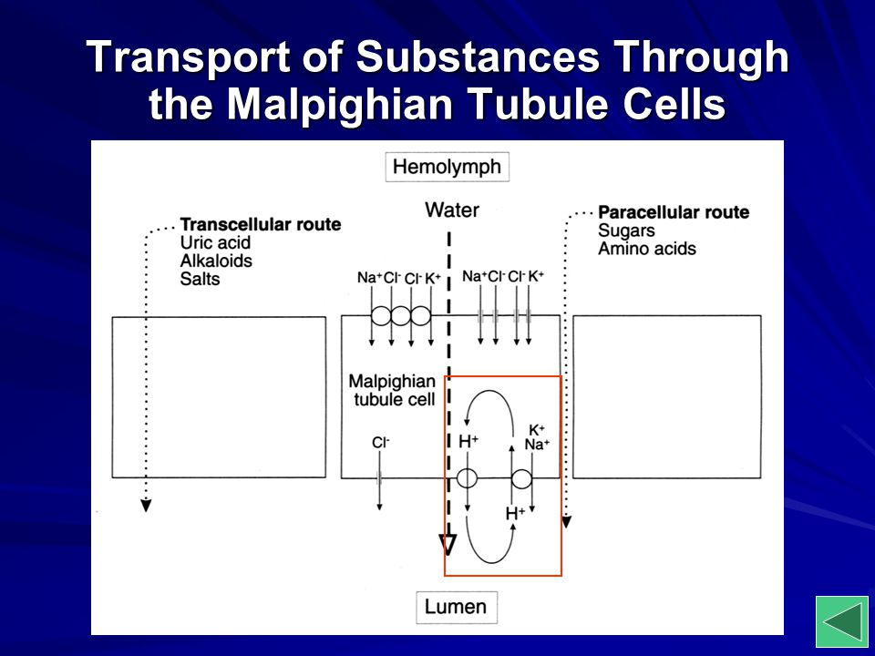 Transport of Substances Through the Malpighian Tubule Cells