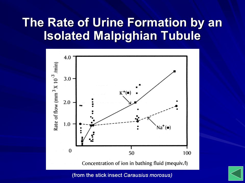 The Rate of Urine Formation by an Isolated Malpighian Tubule