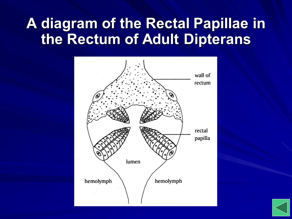 A diagram of the Rectal Papillae in the Rectum of Adult Dipterans