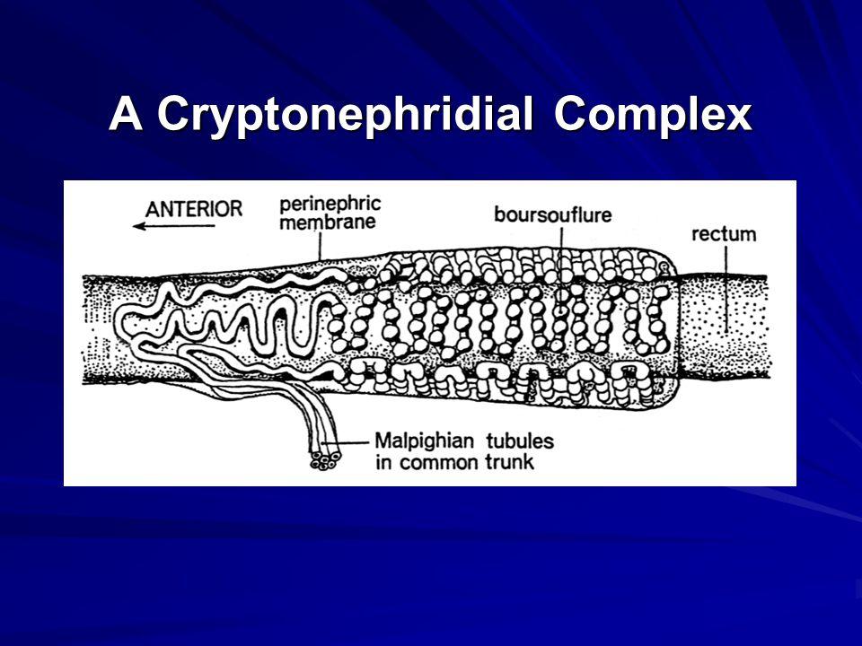 A Cryptonephridial Complex