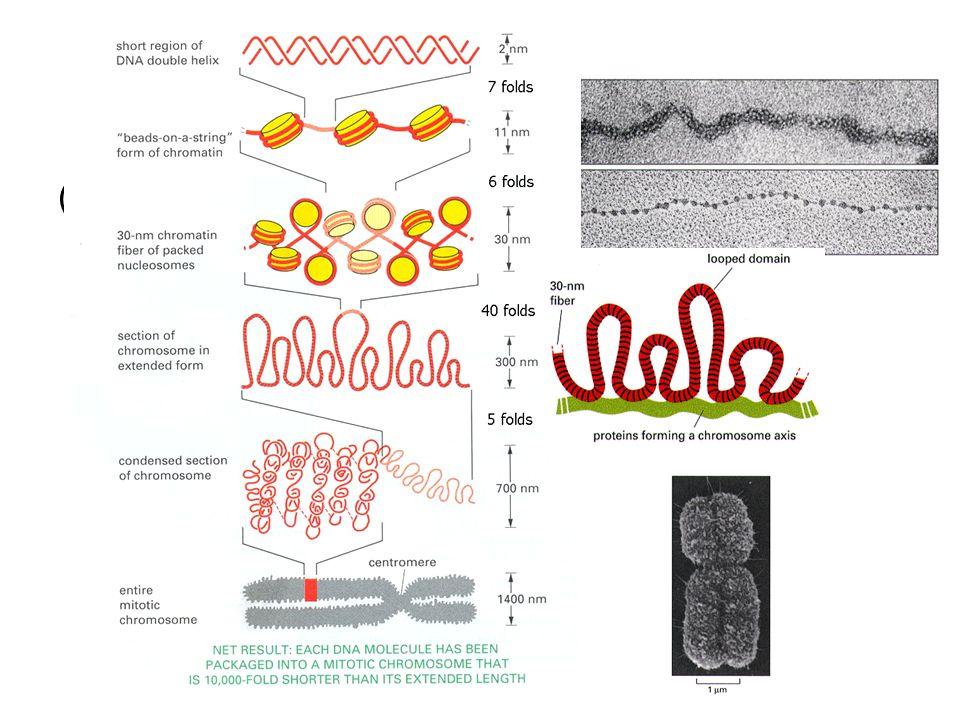 (2)染色体多级螺旋化模型