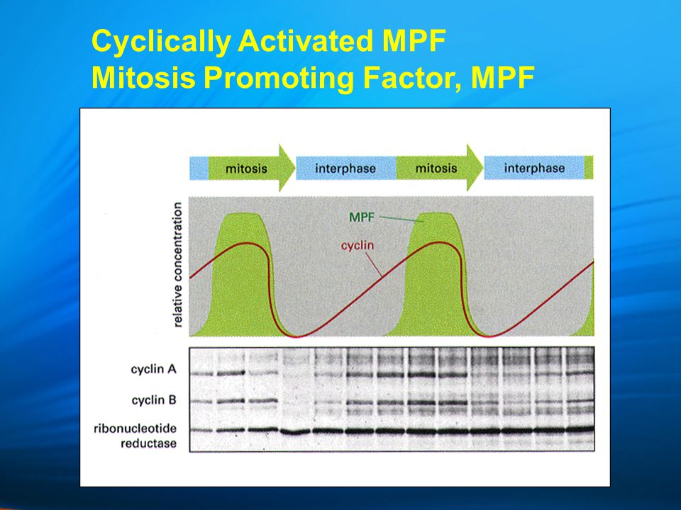 Cyclically Activated MPF