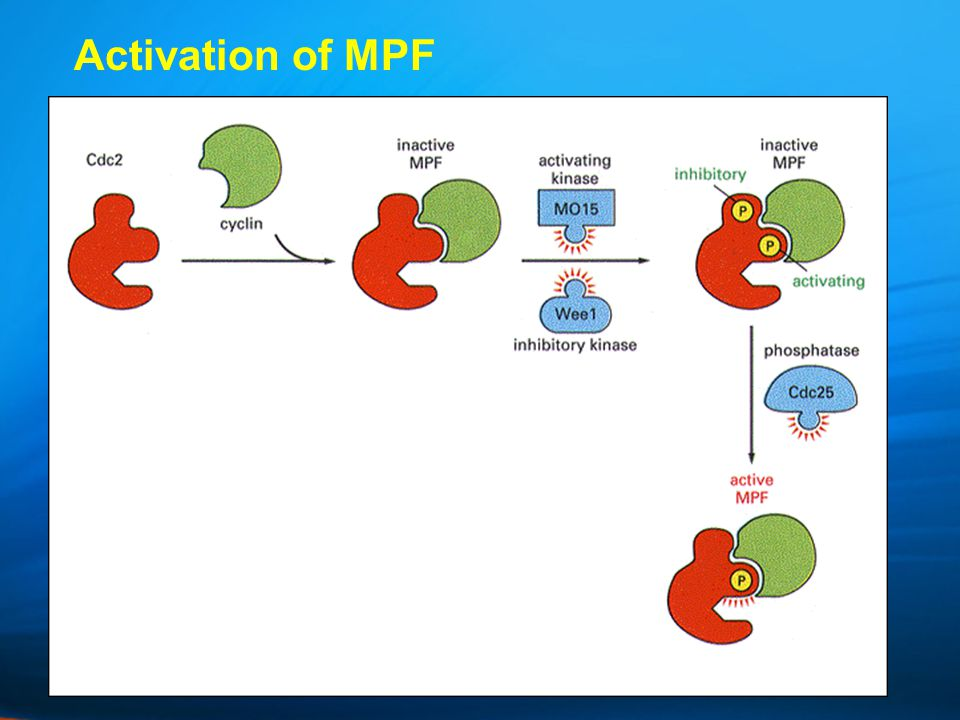 Activation of MPF