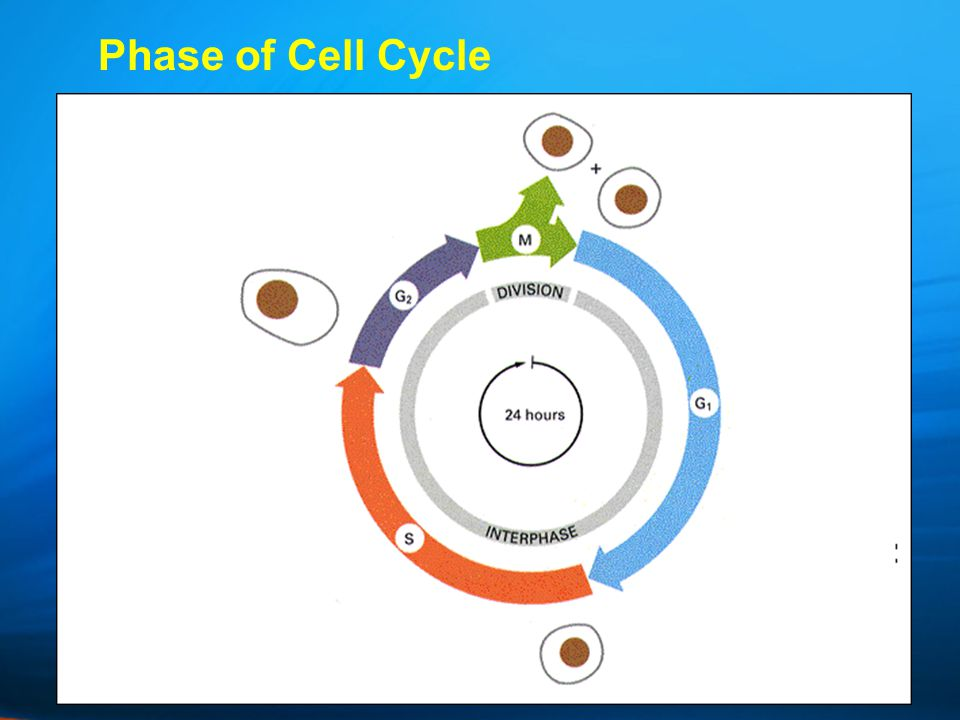 Phase of Cell Cycle