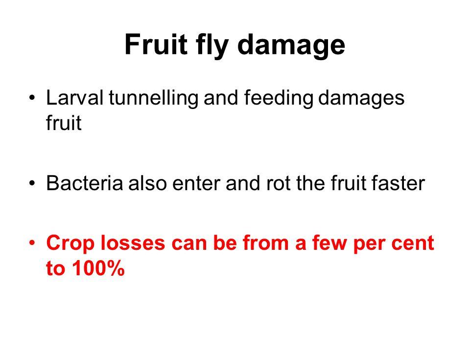 Fruit fly damage Larval tunnelling and feeding damages fruit