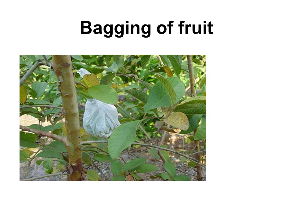 Bagging of fruit