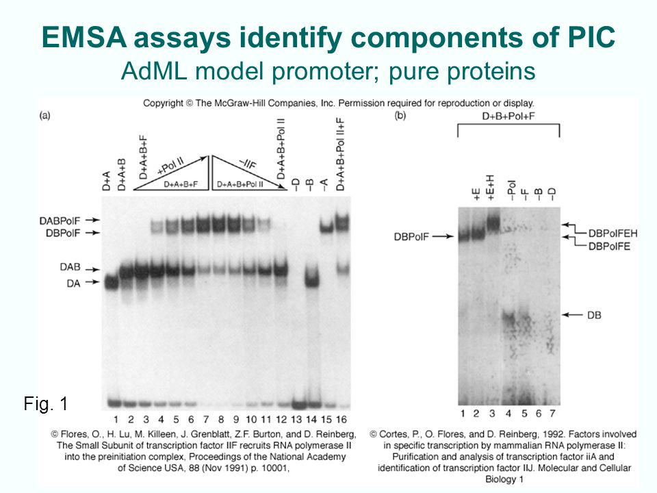 EMSA assays identify components of PIC AdML model promoter; pure proteins