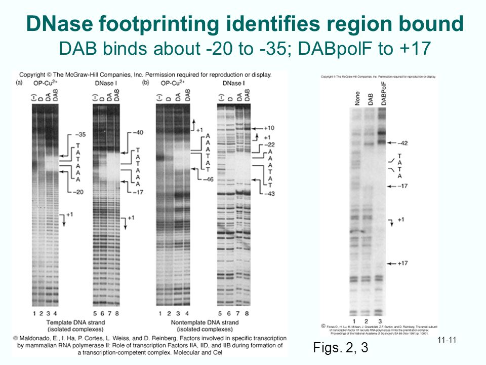 DNase footprinting identifies region bound DAB binds about -20 to -35; DABpolF to +17