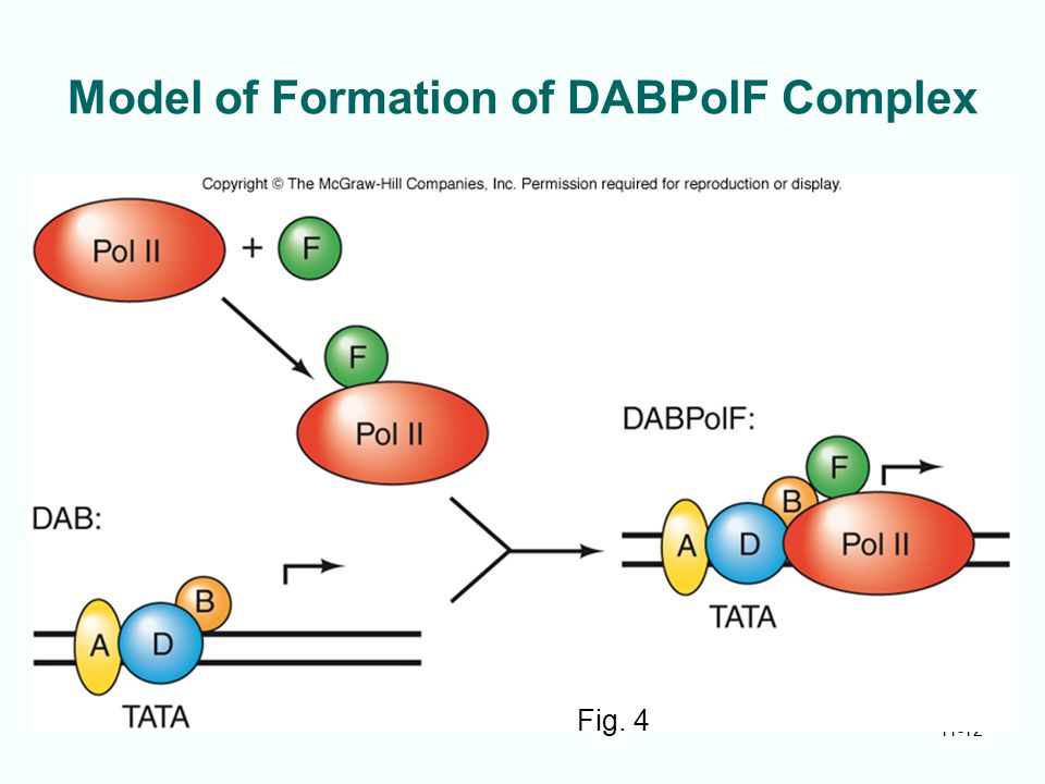 Model of Formation of DABPolF Complex