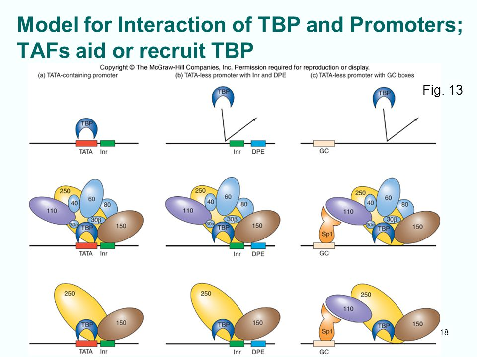 Model for Interaction of TBP and Promoters; TAFs aid or recruit TBP