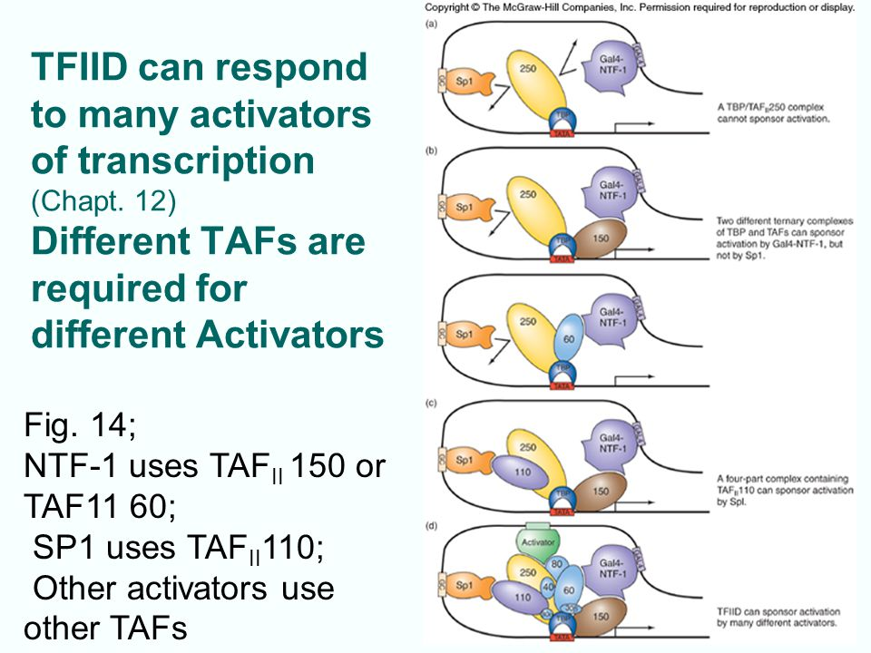TFIID can respond to many activators of transcription (Chapt
