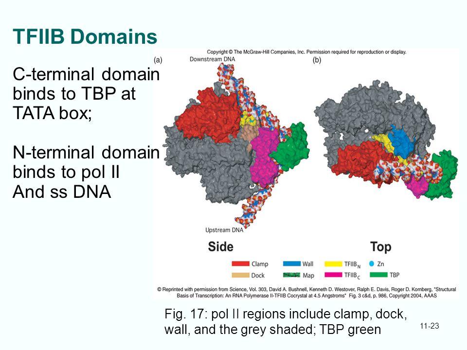 TFIIB Domains C-terminal domain binds to TBP at TATA box;