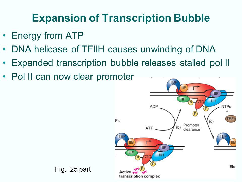 Expansion of Transcription Bubble