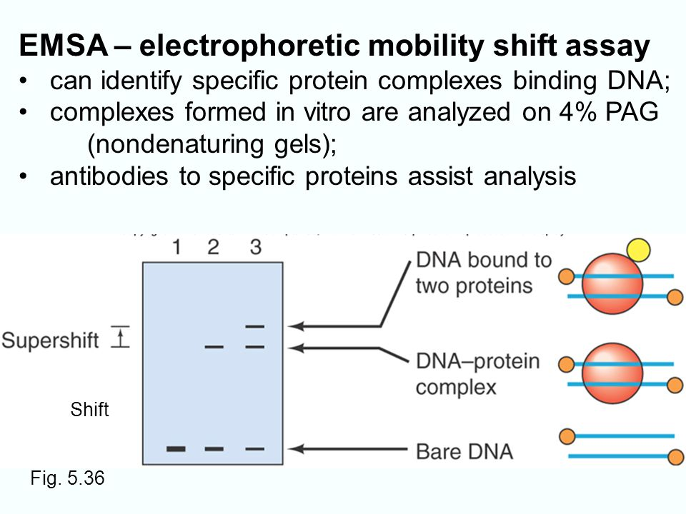 electrophoretic mobility shift assay animation Electrophoretic mobility shift assay, or emsa, is a well-established technique for separating macromolecules under native conditions based on a combination of shape, size, and charge.