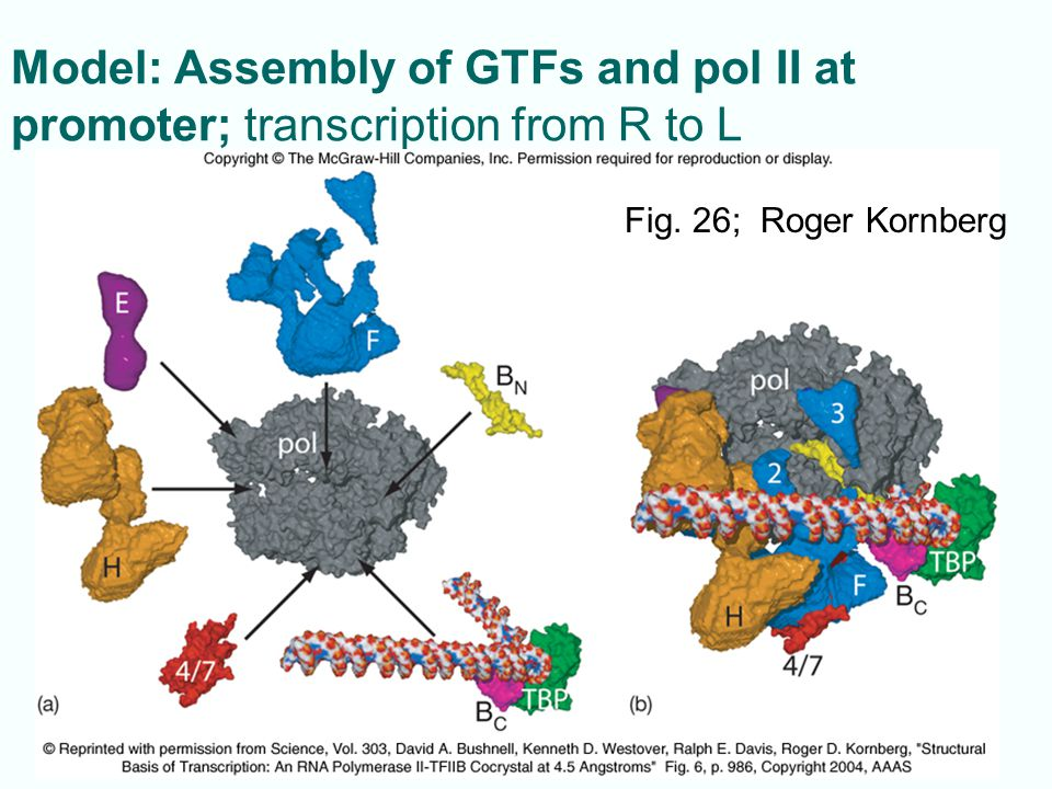 Model: Assembly of GTFs and pol II at promoter; transcription from R to L