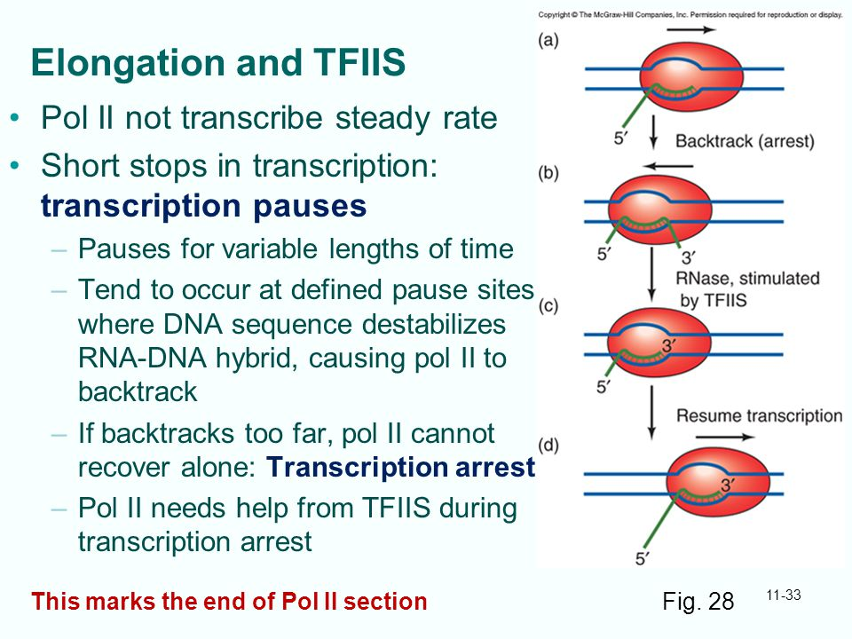Elongation and TFIIS Pol II not transcribe steady rate