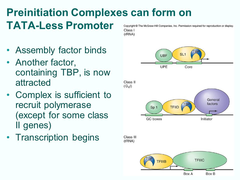 Preinitiation Complexes can form on TATA-Less Promoter